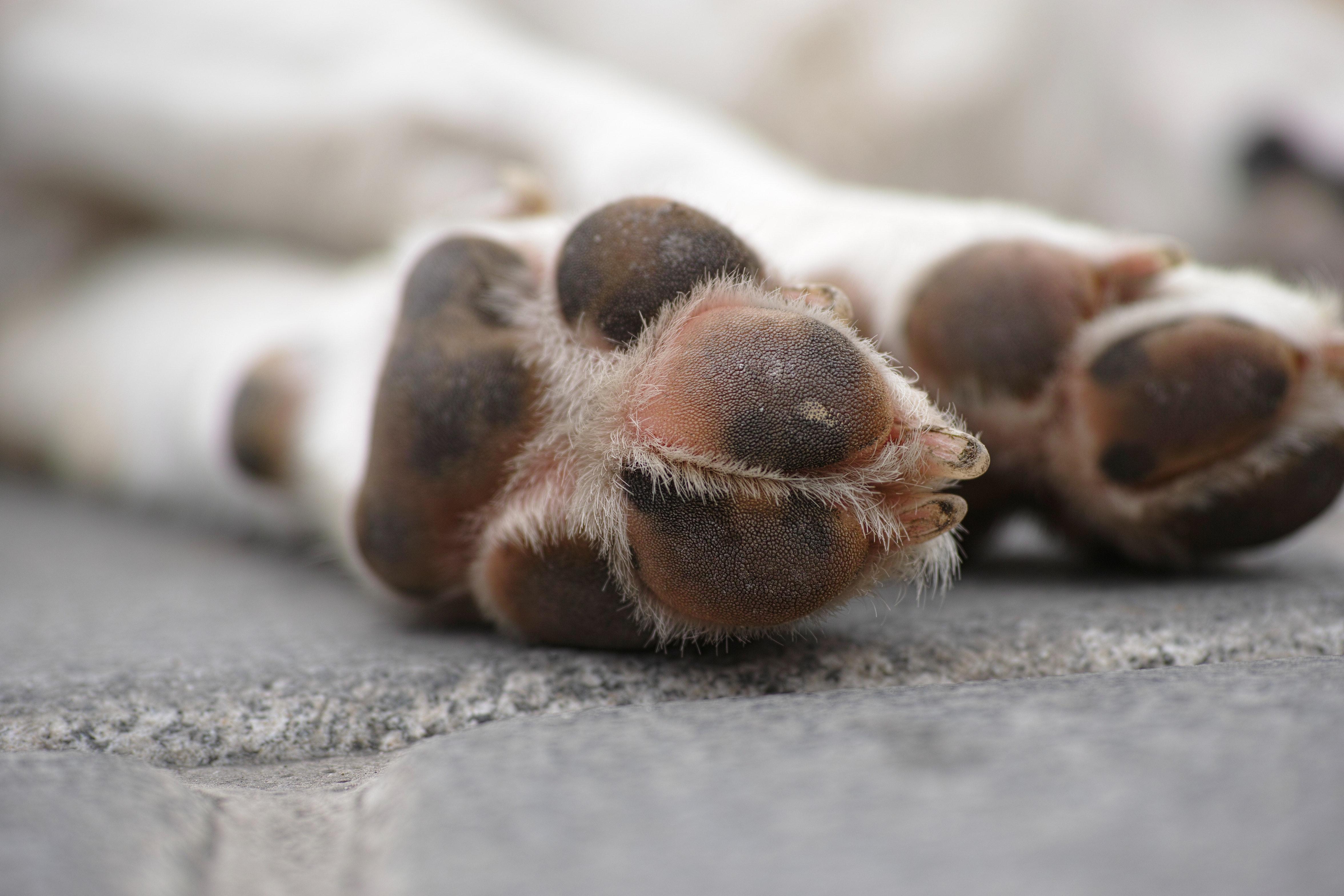 hondenpoot
